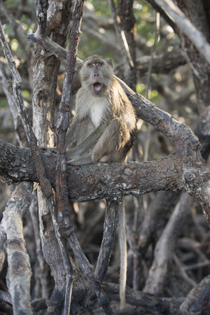 A Long-Tailed Macaque Sitting on a Tree Branch in Komodo National Park Photographic Print by Jeff Mauritzen