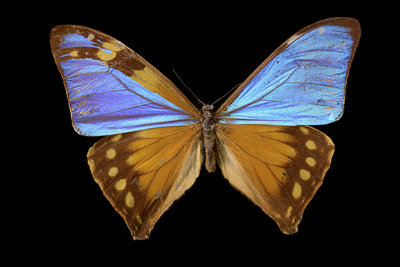 A Blue Morpho Butterfly, Morpho Menelaus Menelaus, Mounted on a Pin Photographic Print by Joel Sartore