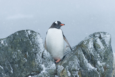 Snow Falls on a Gentoo Penguin, Pygoscelis Papua, at Ronge Island in Antarctica Photographic Print by Jeff Mauritzen