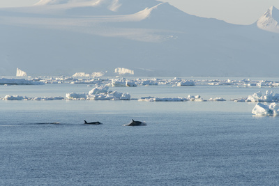 Killer Whales Swimming in Antarctic Sound and the Weddell Sea Near Antarctica Photographic Print by Jeff Mauritzen