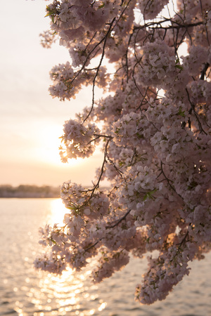 Close-Up of Cherry Blossom Petals in Full Bloom Photographic Print by Jeff Mauritzen