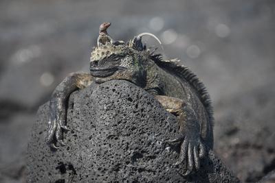 A Lava Lizard Rests on Top of a Marine Iguana on Fernandina Island Photographic Print by Jeff Mauritzen