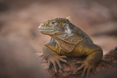A Galapagos Land Iguana Next to a Prickly Pear Cactus on North Seymour Island Photographic Print by Jeff Mauritzen