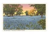 Blue Bonnets, State Flower of Texas, Art Print