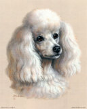 White Poodle Poster by Judy Gibson