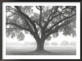Silhouette Oak Poster by William Guion