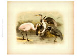 Egret and Heron Prints by Jacob Studer