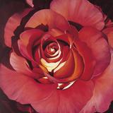 Spanish Rose Prints by Jennifer Harmes