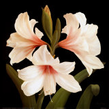 Contemporary Lily II Prints by Gloria Eriksen