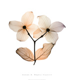 Dogwood I Print by Steven N. Meyers
