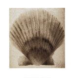 Scallop Shell Prints by  Mandolfo