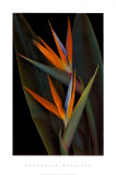 Bird of Paradise Prints by Rosemarie Stanford
