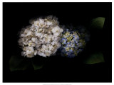 Hydrangea Prints by Rosemarie Stanford