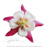 Pink Columbine Art by Jay Schadler