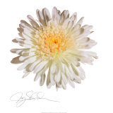 White Daisy Prints by Jay Schadler
