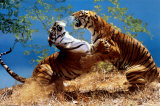 Tigers Fighting Plakaty