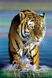 Tiger in Water Prints by Ken Messom
