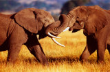 African Elephants Sparring Prints