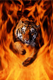 Bengal Tiger Jumping Flames Poster