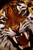 Bengal Tiger Close-Up Fotografía