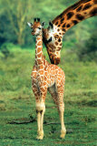 Giraffe and Baby Photo