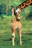 Giraffe and Baby Fotografia