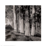 Cedars Print by Doug Burgess