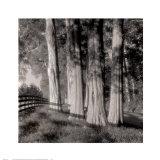 Cedars Print by Doug Burgess