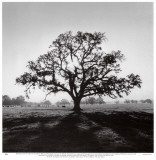 Roble al amanecer Posters por Ansel Adams