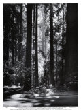 Redwoods, Founders Grove Posters af Ansel Adams