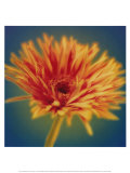 Chrysanthemum on Turquoise Art by Jane Ann Butler