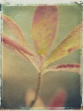 Deciduous Azalea Photographic Print by Jennifer Kennard