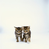 Pair of Tabby Kittens Photographic Print by Pat Doyle