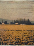 Skagit Daffodils Photographic Print by Jennifer Kennard