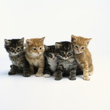 Five Tabby Kittens Photographic Print by Pat Doyle