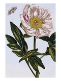 18th Century French Print of Flesh-coloured Common Peony Giclee Print by  Stapleton Collection