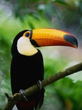 Toco Toucan Photographic Print by Kevin Schafer