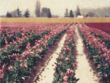 Skagit Valley Tulips Photographic Print by Jennifer Kennard