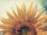 Sunflower Photographic Print by Jennifer Kennard