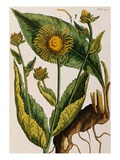 Elecampane Giclee Print by Elizabeth Blackwell
