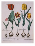 Tulipa, Engraving Giclée-Druck von Basil Besler