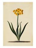 Botanical Print of Narcissus Lámina giclée por Weinmann, Johann Wilhelm