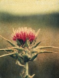 Thistle Photographic Print by Jennifer Kennard