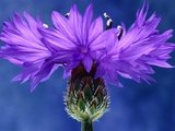 Cornflowers Photographic Print by Andy Small