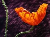 Poppy Photographic Print by Andy Small