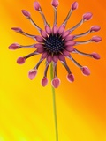 Pink Whirlygig Flower Photographic Print by Andy Small