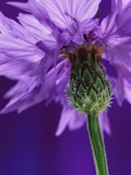 Cornflower Photographic Print by Andy Small