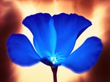 Blue California Poppy Photographic Print by Andy Small