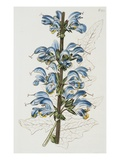 Illustration Depicting Bicolor Sage Plant Giclee Print by  Bettmann