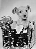Puppy in a Christmas Box Photographic Print by  Bettmann